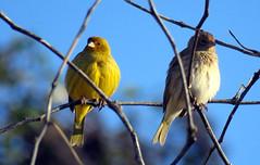 Entre ramas. (jagar41_ Juan Antonio) Tags: animales aves animal ave jilguero jilgueros pjaros pjaro