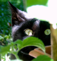 Cache of cat (Gylzinha (=) Tags: cat blackcat black green eyes gato gatopreto esconderijo cache