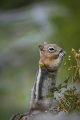 A Taste of Something Wild (JeffMoreau) Tags: chipmunk yellowstone national park findyourpark wyoming chippy wildlife mystic falls hike