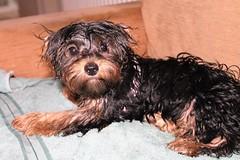 Yorkie Poo Flo Wet Summer Rain (@oakhamuk) Tags: yorkiepoo flo wet summer rain