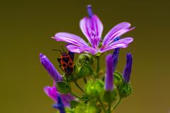Exploracin (marcus turkill) Tags: bug insects insectos summer verano nikon nikond3300 nature naturaleza fauna macro macrophotography macrofotografia