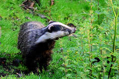 Badger (Terry Angus) Tags: badger cub meles mele