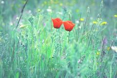 La soledad es indispensable... (niripla) Tags: amapolas flores flowers spr primavera colours
