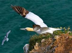 Gannet, Bempton Cliffs, East Yorkshire 27 July 2016. (Lathers) Tags: bemptoncliffs rspbbemptoncliffs seabirds cliffs canonef100400f4556lismarkii canoneos7dmarkii 25july2016 gannet morusbassanus