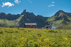 Splendid isolation (Maria-H) Tags: mountains norway no panasonic wildflowers lofotenislands 1235 nordland gh4 myrland dmcgh4