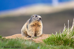 This is my spot! (Desiree van Oeffelt) Tags: switzerland schweiz swiss suisse snow sun graubunden graubnden grisons marmot marmota marmots alps alpine alpen alpenmarmot animal animals wildlife wild beverin nature desireevanoeffelt canon