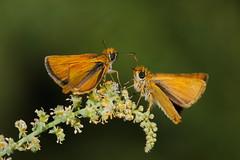 Thymelicus sylvestris (JoseDelgar) Tags: ngc npc mariposa insecto thymelicussylvestris coth coth5 josedelgar sunrays5