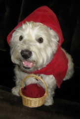 """7/12B ~ Riley - """"Little Red Riding Hood"""" (ellenc995) Tags: riley westie westhighlandwhiteterrier 12monthsfordogs16 littleredridinghood fairytale challenge thesunshinegroup rubyphotographer coth coth5 challengeclub supershot alittlebeauty abigfave pet100 thegalaxy 100commentgroup"""