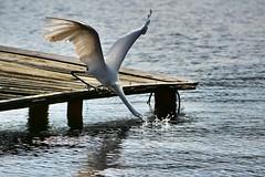 Catch! (Billy W Martins ) Tags: bird pssaro floripa florianpolis lake lagoon lagoadaconceio nikon d7100 fish fisher food lunch lunchtime nature natureza peixe pescador almoo lago lagoa