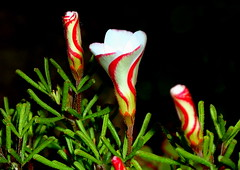 BARBER'S POLE Oxalis (elliott.lani) Tags: color colour macro beautiful closeup bokeh stripes colourful upclose oxalis barberspole stripedflowers oxalisversicolor