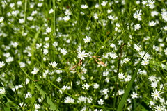 pzsitos csillaghr /common starwort (debreczeniemoke) Tags: summer white plant flower meadow virg caryophyllaceae nyr nvny fehr lesserstitchwort stellariagraminea rt grassternmiere grasmiere grasslikestarwort stellairegramine commonstarwort szegfflk olympusem5 stellairefeuillesdegramine pzsitoscsillaghr grassleavedstitchwort centocchiogramignola rocoea