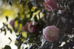 Camellias (louisa_catlover) Tags: plant garden nature outdoor backyard suburban sydney nsw australia winter sprinter august 2016 shrub flowers pink camellia theaceae bokeh dof depthoffield canon eos 60d helios helios442 m42 58mm f2 manual russian vintagelens manualfocus flora floral botanical afternoon