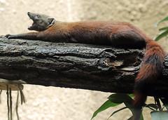 ringtailed mongoose Berlin Zoo JN6A1071 (j.a.kok) Tags: berlijn berlin zoo mangoest mongoose ringtailedmongoose