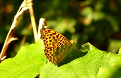 Silver-washed Fritillary Argynnis paphia (ar-GIN-iss PA-fee-uh) (pete Thanks for 5 Million Views) Tags: silverwashed fritillary argynnis paphia arginiss pafeeuh lumix hwcp colchester