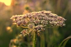 hope reimagined (joy.jordan) Tags: queenanneslace blossoms sunset light bokeh texture hope summer blur