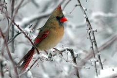 Snow Bird (wonderpm) Tags: 2016 birds cardinal