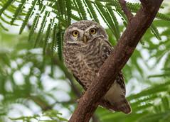 "spotted owlet (Dinesh ""Canon"" Duggiralla) Tags: owl spottedowlet nature birds birdsofpeninsularindia birdsofindia jswvidyanagartownship"