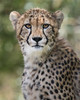 You've Been Spotted (Penny Hyde) Tags: bigcat cheetah cub safaripark flickrbigcats