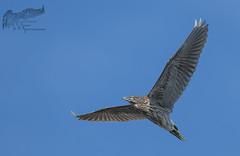 Juvenile Black Crowned Night Heron 7_25 (krisinct- Thanks for 12 Million views!) Tags: nikon d500 500 f4 vr g