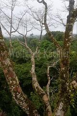 60071612 (wolfgangkaehler) Tags: 2016 southamerica southamerican ecuador ecuadorian latinamerica latinamerican rionapo rionapoecuador rionaporiver rainforest coca cocaecuador laselvalodge observationtower tower rainforestcanopy epiphyticplants epiphyte epiphytes trees