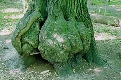 Burl on Oak DSC_0783_edited-1 (John Dreyer) Tags: burl redoak fungus nature nikon nikond5100 copyright2016johnjdreyer photocreditjohnjdreyer