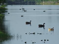 New Goose 20160815 (Kenneth Cole Schneider) Tags: florida miramar westbrowardwca
