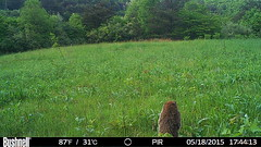 Site4_446 (raystownfieldstation) Tags: raystownfieldstation cameratrap woodchuck
