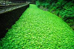 Fresh Green Wasabi Stream (aotaro) Tags: mzuikodigitaled1240mmf28pro freshgreen wasabifield raddish shizuoka omdem1 izu wasabi japan green