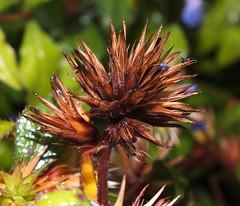 Plumbago (Ceratostigma willmottianum) inflorescence (shadowshador) Tags: plumbago ceratostigma willmottianum inflorescence