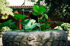 Summer Serene (sunnywinds*) Tags: beijing china temple ancient buddhist lotus leica summilux summer serene
