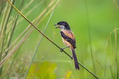 long tailed shrike (lanius schach) (nature_photos_by_soumya) Tags: longtailedshrike laniusschach bird kolkata westbengal
