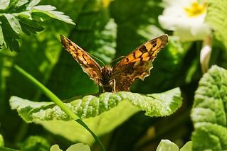 Nymphalidae Satyrinae at sun - Tircis au soleil