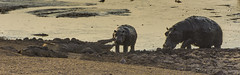 Confrontation (philnewton928) Tags: hippopotamus hippo hippopotamusamphibius nilecrocodile crocodile crocodylusniloticus reptile mammal animal animalplanet wild wildlife nature natural satara kruger krugernationalpark africa southafrica outdoor outdoors safari nikon nikond7200 d7200 waterhole
