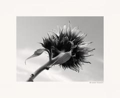 Children of the Sun Flower (salar hassani) Tags: leica sun flower children 50mm sunflower m8 sum micron
