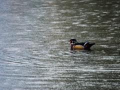 Lone in the Rain (bluesywaters) Tags: autumn fall rain oregon pond lone hillsboro dawsoncreek woodduck