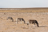 Heads Down (The_Green_Ninja) Tags: azn zebra waterhole namibia etosha exodus
