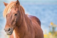 Wild Pony (Dany_M) Tags: wild horses horse usa cheval maryland pony national ponies assateagueisland seashore chevaux sauvage poney