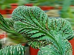 Marginatocereus marginatus cristata  #cristata #succulents  #cactus #green  #greenhouse #plants (Makki727) Tags: cactus plants green greenhouse succulents cristata