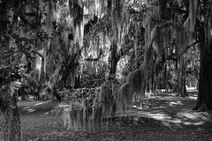 Spanish Moss - BW (rschnaible) Tags: trees bw usa white black texture cemetery outdoors photography coast us moss south low country sightseeing monotone tourist southern spanish national carolina sight beaufort