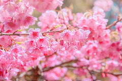 Cherry Blossom (KRW_GNS) Tags: park pink flowers blue trees sky white flower color tree green nature floral beautiful beauty japan garden season cherry landscape thailand japanese spring flora scenery branch natural blossom outdoor background almond sunny orchard fresh petal bloom romantic sakura botany chiang springtime blooming