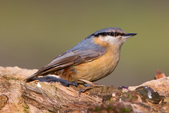 IMG_2864 (Hunterius1) Tags: cute bird colors warm sitting watching tiny stump nuthatch