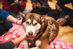 go huskies (Dan_Evans) Tags: man dogs 35mm canon puppy kid puppies husky pug maryland 5d f2 bro umd toocute palooza