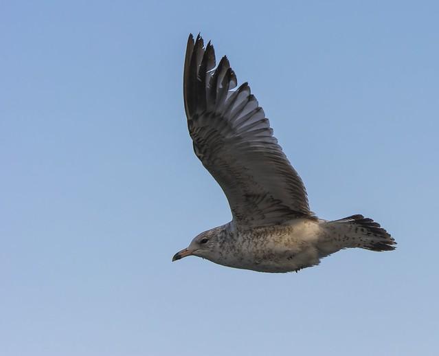 1st Winter Ring-Billed Gull In Flight
