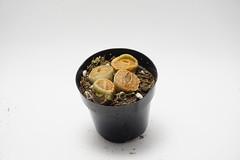 Lithop (Kellen LeBlanc) Tags: succulent lithops succulents lithop