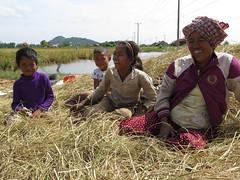 """Rires et bonne humeur pendant la récolte du riz <a style=""""margin-left:10px; font-size:0.8em;"""" href=""""http://www.flickr.com/photos/83080376@N03/16053876696/"""" target=""""_blank"""">@flickr</a>"""
