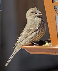 Female House Finch: Colorado Springs, Colorado (CO) (Floyd Muad'Dib) Tags: winter bird birds animals colorado wildlife seed feeder seeds springs coloradosprings co coloradospringscolorado coloradospringsco