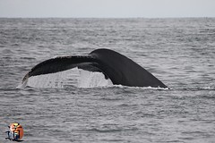 USA Baleine (creationtao) Tags: sanfrancisco sea usa monterey whale californie baleine amrique baleines