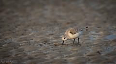 Drieteenstrandloper (Paul van Agthoven) Tags: winter strand wadden wind zoom nederland vogels natuur ameland zon landschap tegenlicht eilanden sigma120400