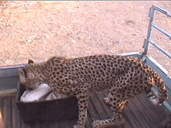 Cheetah On The Truck