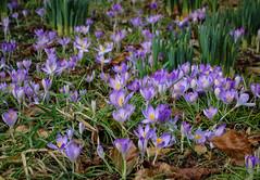Carpet of Crocuses (Paul *) Tags: park grass spring bath crocus victoria crocuses flows
